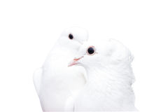 White doves Stock Photo