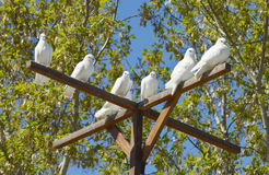 Free White Doves - A Symbol Of Peace And Love Stock Photo - 71305230