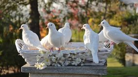 White doves. Beautiful white doves in a park