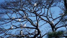 White doves. Beautiful white doves in a park stock video footage