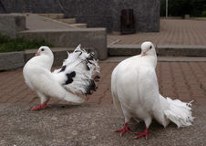 White doves Stock Photos