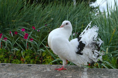 White doves Royalty Free Stock Image