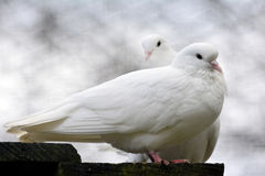 White doves Stock Image