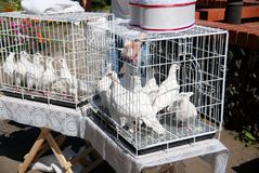 White doves in the coop. Selling birds in rookery stock photography
