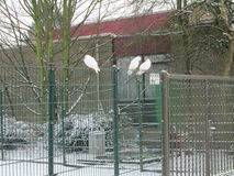 White doves on a fence with snow in a white winter wonderland in nieuwerkerk aan den IJssel, the Netherlands.  royalty free stock photos