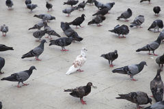 White doves in the gray pigeons. Royalty Free Stock Photos