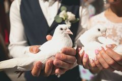 White doves in the hands of newlyweds. The bride and groom are holding pigeons, preparing to let them go into the sky. Beautiful royalty free stock image
