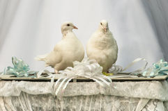 White doves wedding bird Royalty Free Stock Photos