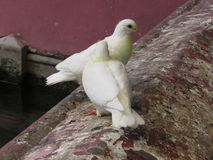 White Doves at Pagoda in Saigon Royalty Free Stock Images