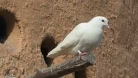 Pigeons in tower close up. White doves on a pigeon tower in Doha, Qatar. Middle East, Arabian Peninsula stock footage