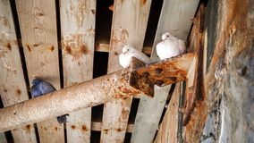 White doves and pigeons sitting under wooden bridge stock images