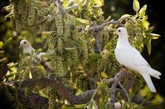 White doves Stock Images