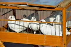 White doves sit for iron rods in a wooden cage. Close up. Horizontal view Royalty Free Stock Images