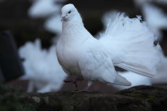 White Doves Stock Photography