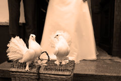 White Doves and a wedding couple Royalty Free Stock Image