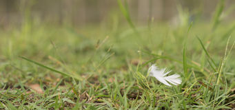 White Downy Feather Blowing in Wind Stock Photo