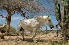White draft horse Royalty Free Stock Image