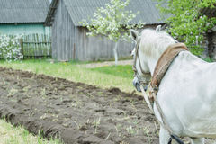 White draft horse at freshly ploughing field furrows background Royalty Free Stock Photography