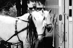 White draft horse team. A picture of two white draft horses waiting to work Royalty Free Stock Photos