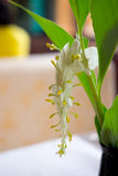 White dragon flower. Smithatris supraneanae or Globba winitii Stock Images