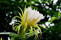 A white Dragon Fruit flower against the back ground with bokeh. In Asia they called Dragon Fruit while in Europe they called Pitaya. The science name is royalty free stock photography