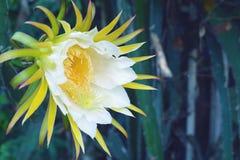 White dragon fruits flower. Stock Image