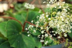 Begonia royalty free stock image