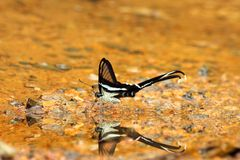 White Dragontail butterfly Royalty Free Stock Images