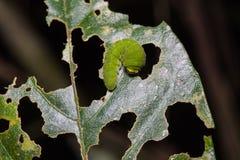 White dragontail caterpillar Royalty Free Stock Photo
