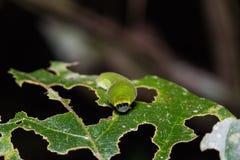 White dragontail caterpillar Royalty Free Stock Photos