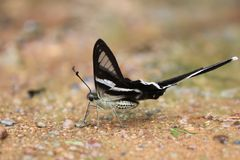 The White Dragontail Lamproptera curius curius Butterfly. General characteristics, width 40-55 mm stock image