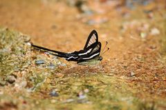 The White Dragontail Lamproptera curius curius Butterfly. General characteristics, width 40-55 mm royalty free stock photo