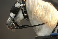 White draught horse head with grey background Royalty Free Stock Image