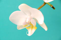 White dream. White orchid infront of tuerkis Royalty Free Stock Photography