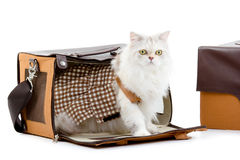 White dressing cat in a handbag Royalty Free Stock Photos