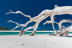 White driftwood tree on amazing Whitehaven Beach with white sand. In the Whitsunday Islands, north Queensland, Australia Royalty Free Stock Images