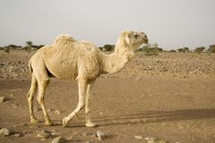 A white dromedary Stock Photos