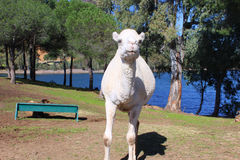 White dromedary Stock Photo