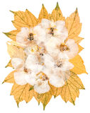 White dry orchid flowers on pressed  maple leaves Royalty Free Stock Images