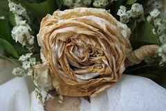 White Dry rose after valentine day, Faded rose Royalty Free Stock Photo