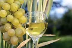 White dry wine is poured into a glass goblet near a bunch of grapes in the nature. Stock Image