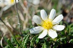White dryas, Mountain avens. Dryas octopetala common names include mountain avens, eightpetal mountain-avens, white dryas, and white dryad is an Arctic–alpine Stock Photos