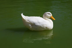 Free White Duck Royalty Free Stock Photography - 11716597