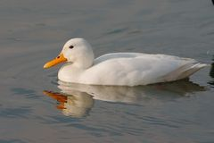 White duck. A white duck swimming Stock Image