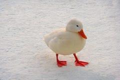 White duck Stock Photo