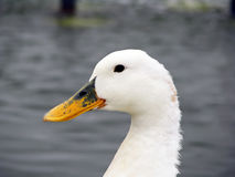 White duck. Closeup portrait of a white duck Stock Image