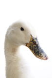 White duck. To feel lonely Stock Image