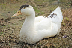 White duck. Sitting on the riverside Royalty Free Stock Photography