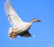 The White Duck Royalty Free Stock Image