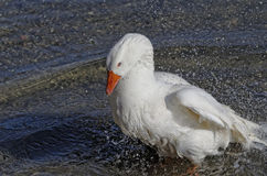 White duck. In a river near my house Royalty Free Stock Images
